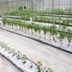 Vista general del ensayo con plantas de un año podadas y plantitas recien transplantadas