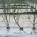 Plantas recién podadas por encima de la tercera bifurcación.